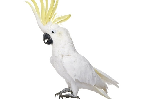 "Cockatoo Dances To Daft Punk's 1997 Track ""Phoenix"""